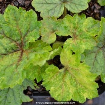 Tellima grandiflora 'Delphine'