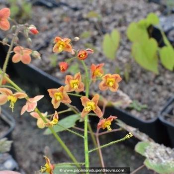 Epimedium pubigerum 'Orange Königin'