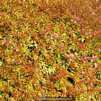 ABELIA x grandiflora 'Kaleïdoscope'