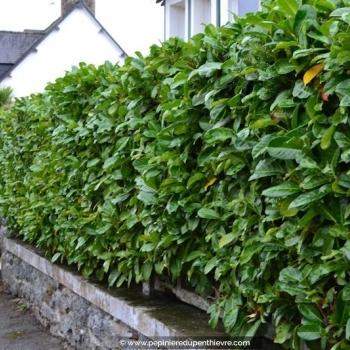 PRUNUS laurocerasus 'Rodundifolia'