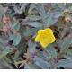 HYPERICUM X moserianum 'Tricolor'