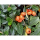 PYRACANTHA Saphyr ® Orange