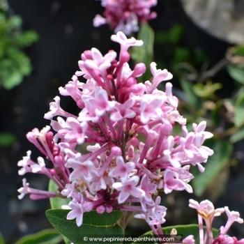 SYRINGA microphylla 'Superba'