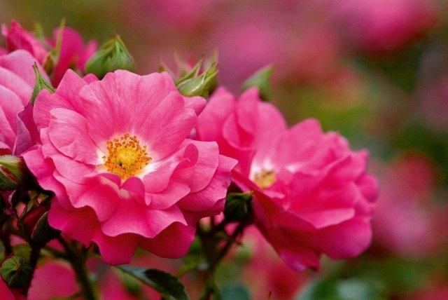 Rosier decorosier 39 emera 39 rosa caduc fushia p pini re - Fushia plante entretien ...