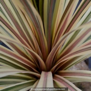 CORDYLINE australis 'Torbay Dazzler'