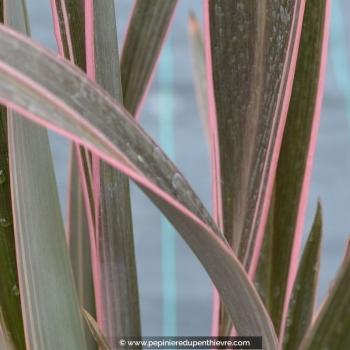PHORMIUM tenax 'Pink Stripe'