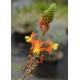 BULBINE frutescens 'Hallmarck'