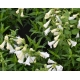 PENSTEMON hybride 'White Bedder'