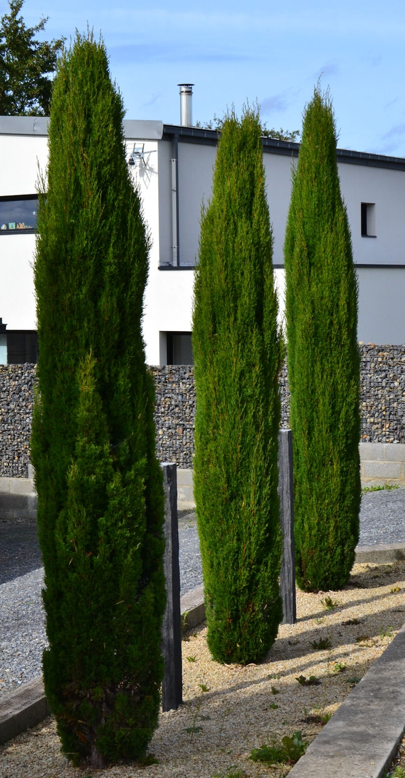 cupressus sempervirens 39 pyramidalis 39 conif re p pini re du penthi vre. Black Bedroom Furniture Sets. Home Design Ideas