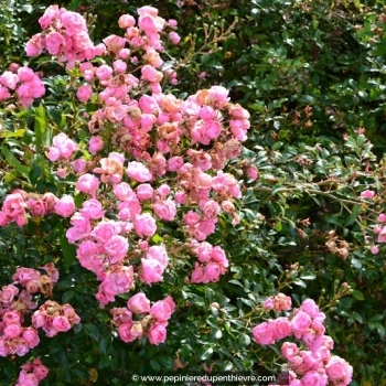 ROSA paysager 'The Fairy'