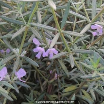 WESTRINGIA fruticosa 'Wynyabbie Gem'