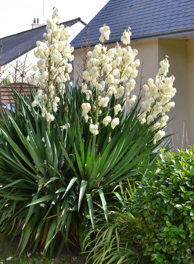 Yucca filamentosa persistant buissonnant p pini re du for Yucca exterieur pot