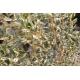 AZARA microphylla 'Argenteomarginata'