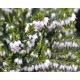 ERICA darleyensis 'White Glow'