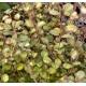 LOPHOMYRTUS x ralphii 'Tricolor'
