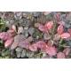 LOPHOMYRTUS ralphii 'Purpurea'