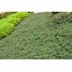 COTONEASTER dammeri 'Green Carpet'