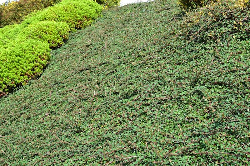 cotoneaster dammeri 39 green carpet 39 rasant p pini re du penthi vre. Black Bedroom Furniture Sets. Home Design Ideas