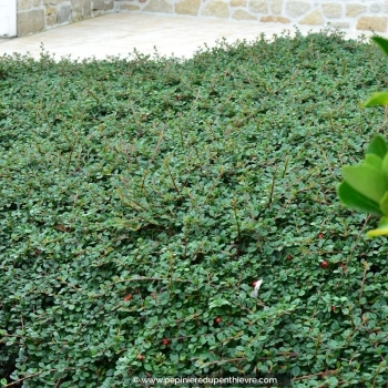 COTONEASTER microphyllus 'Streib's Findling'