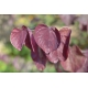 CERCIS canadensis 'Forest Pansy'
