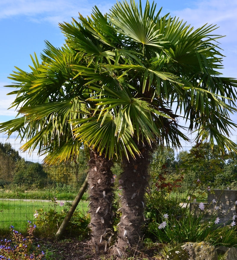 trachycarpus fortunei chamaerops rustique p pini re du penthi vre. Black Bedroom Furniture Sets. Home Design Ideas