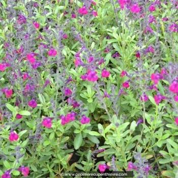 SALVIA x jamensis 'Violette de Loire'