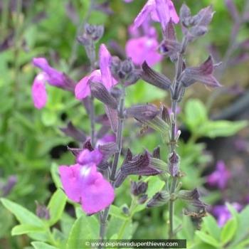 SALVIA greggi 'Purple pastel'