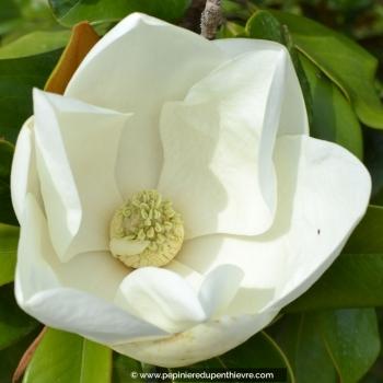 MAGNOLIA grandiflora 'Galissoniensis'