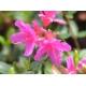 AZALEA japonica 'Amoena' (Violacé)