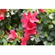 AZALEA japonica 'Hino Crimson' (rouge vif)