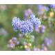 CEANOTHUS impressus 'Puget Blue'