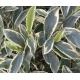 CLEYERA japonica 'Variegata'