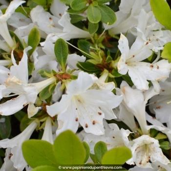 AZALEA japonica 'Adonis' (blanc)