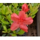 AZALEA japonica 'Orange Beauty'