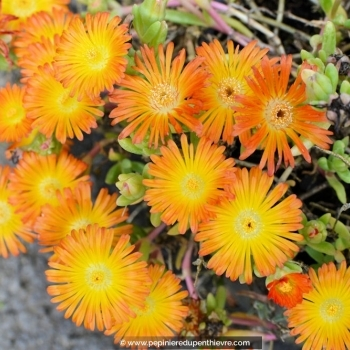 DELOSPERMA cooperi 'Orange wonder'