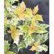 OSMANTHUS heterophyllus 'Tricolor'