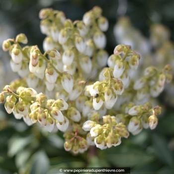 PIERIS japonica 'Débutante'