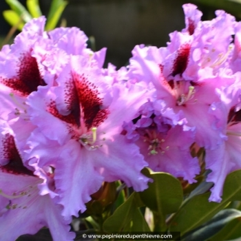 RHODODENDRON collection variés (3 ans)