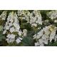 HYDRANGEA quercifolia 'Snowqueen'