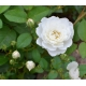 ROSA paysager 'Little White Pet'