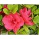 AZALEA japonica 'Christina' (rose foncé)