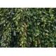 CARPINUS betulus 'Pendula'