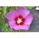 HIBISCUS syriacus 'Russian Violet'®