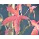LIQUIDAMBAR styraciflua 'Slender Silhouette'