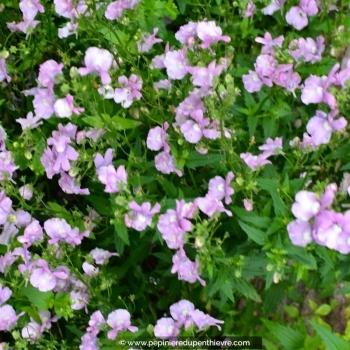 NEMESIA hybride violet