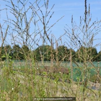 Molinia caerulea arundinacea 'Skyracer'