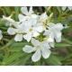 NERIUM oleander 'Blanc'