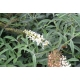 BUDDLEJA 'White Profusion'