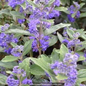 CARYOPTERIS X clandonensis 'Grand Bleu'