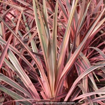 CORDYLINE australis 'Pink fire'